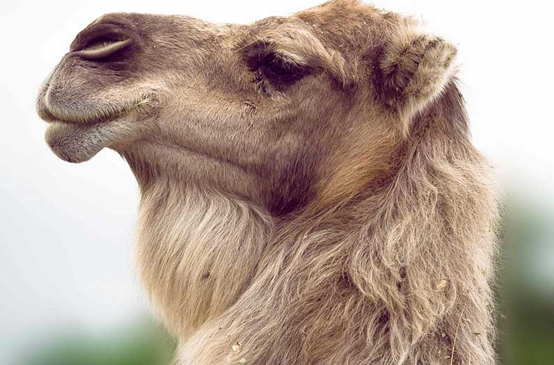 Camel fur inspires an electricity-free cooling material
