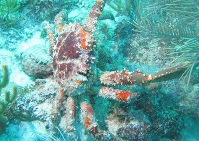 Researchers find a missing piece in coral reef restoration: crabs