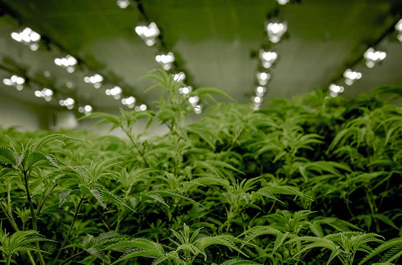 First comprehensive study of indoor pot farm emissions uncovers a giant climate hot spot