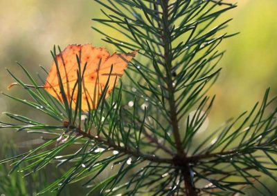 As deciduous trees take over boreal forests, they could reverse carbon losses from massive fires