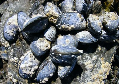 Don't move a mussel: Disease might follow