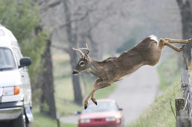 One way to reduce deer-vehicle collisions: bring back wolves