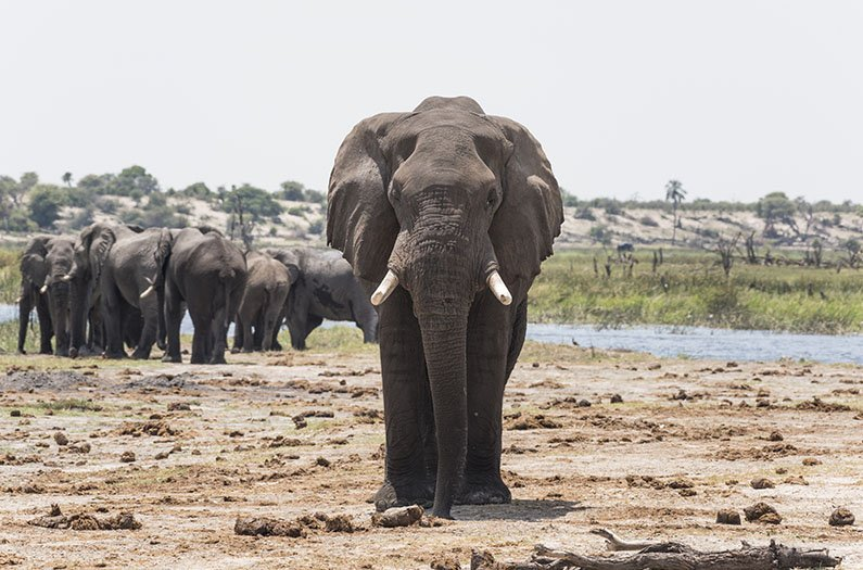 Pinpointing how elephants use scent trails may help humans protect them