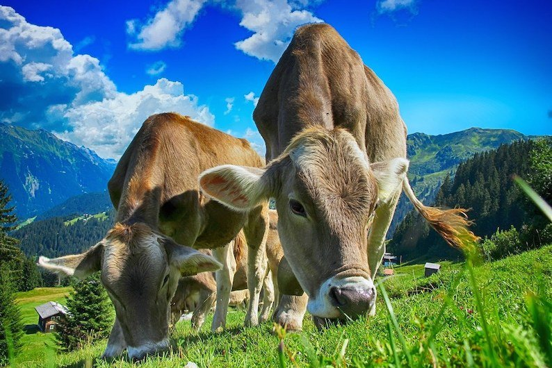 Microbes in cow stomachs can decompose plastic