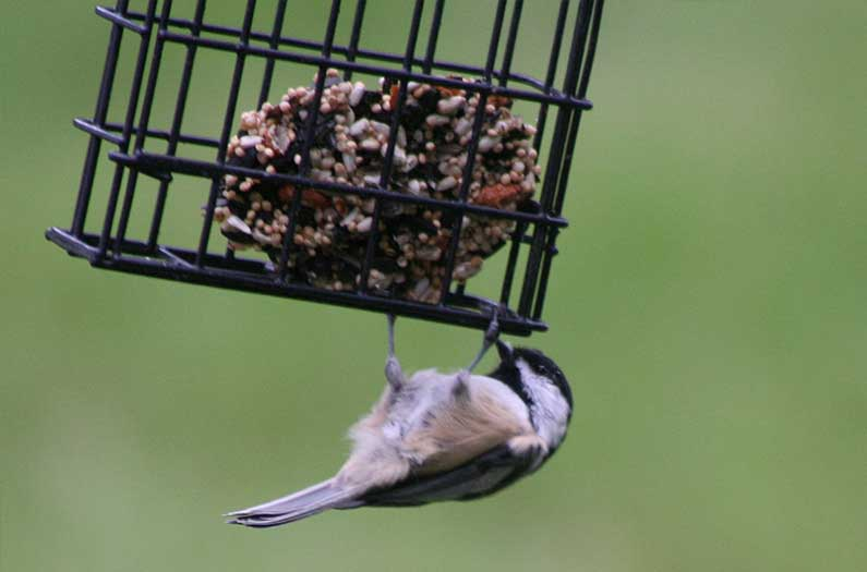 Do feeders get birds hooked on human handouts?