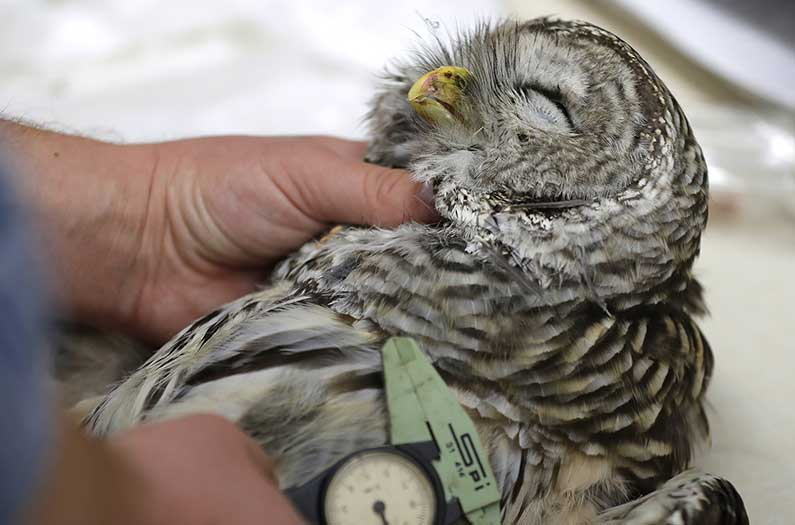 Gunning down a common owl to save an endangered one worked. Are we willing to keep doing it?