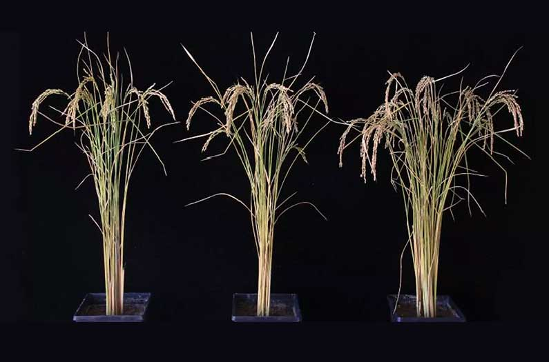 A simple genetic tweak surprised researchers with huge yield increases in rice and potatoes