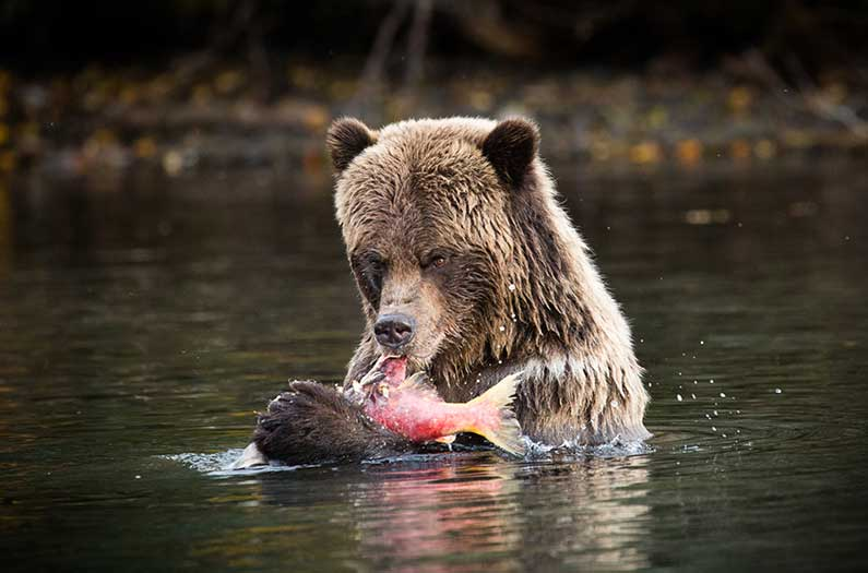 Finding a new formula for sharing salmon between people and bears