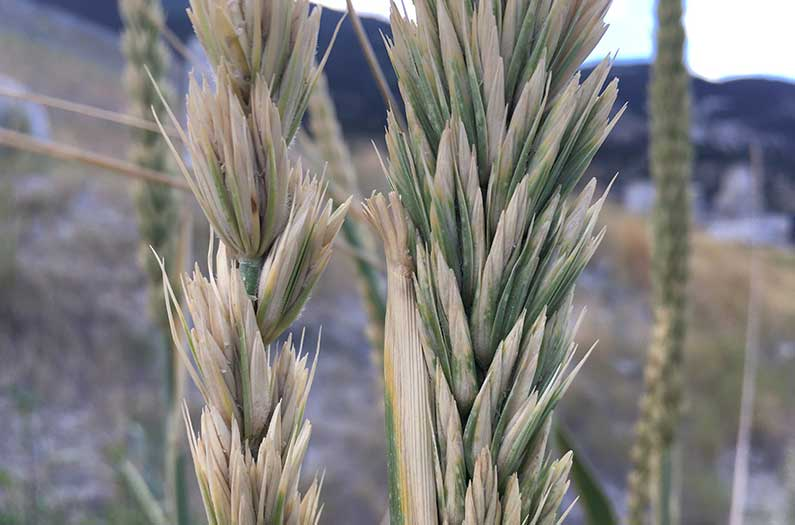 A wild grass gene endows wheat with the power to intercept fertilizer pollution