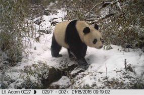 panda camera trap | Anthropocene